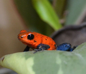 A tiny Strawberry Poison Arrow Frog sits on a leaf at Reptile Gardens.